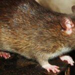 Kursus I Rottebekæmpelse Snart Klar