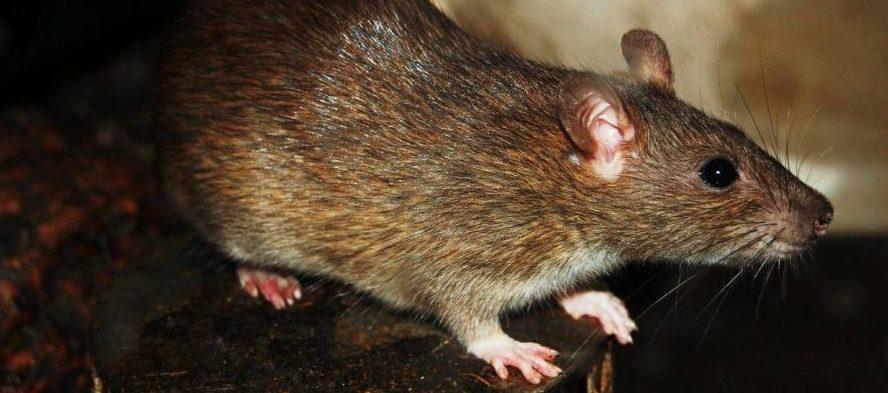 Kursus I Rottebekæmpelse Er Klar