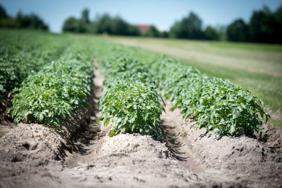 Planteavlskonsulenter Efter Kartoffelmøde: Stort Potentiale Med Melkartofler Som Afgrøde
